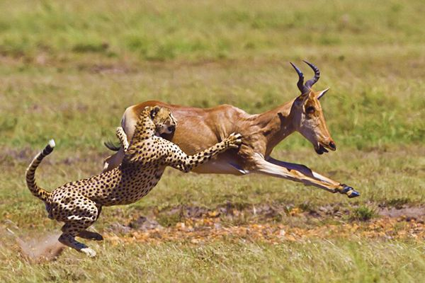 二、敏锐的抓住机遇 16、猎豹和羚羊   每天,当太阳升起来的时候,撒哈拉沙漠上的动物们就开始奔跑了。    猎豹是世界上跑得最快的动物,尽管这样,猎豹妈妈还是不断地教育自己的孩子:孩子,你必须跑得再快一点,再快一点,你要是跑不过最慢的羚羊,你就会活活地饿死。    在另外一个场地上,羚羊妈妈也在教育自己的孩子:孩子,你必须跑得再快一点,再快一点,如果你不能比跑得最快的猎豹还要快,那你就肯定会被它们吃掉。    记住在激烈的市场竞争中,你的企业行动得快,别的企业行动得更快。